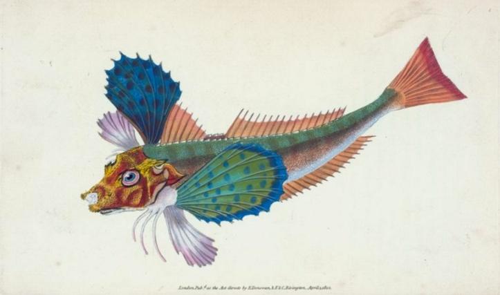 "Rare Book Division, The New York Public Library. ""Gumard, sapphirine, Trigla hirundo"" New York Public Library Digital Collections."