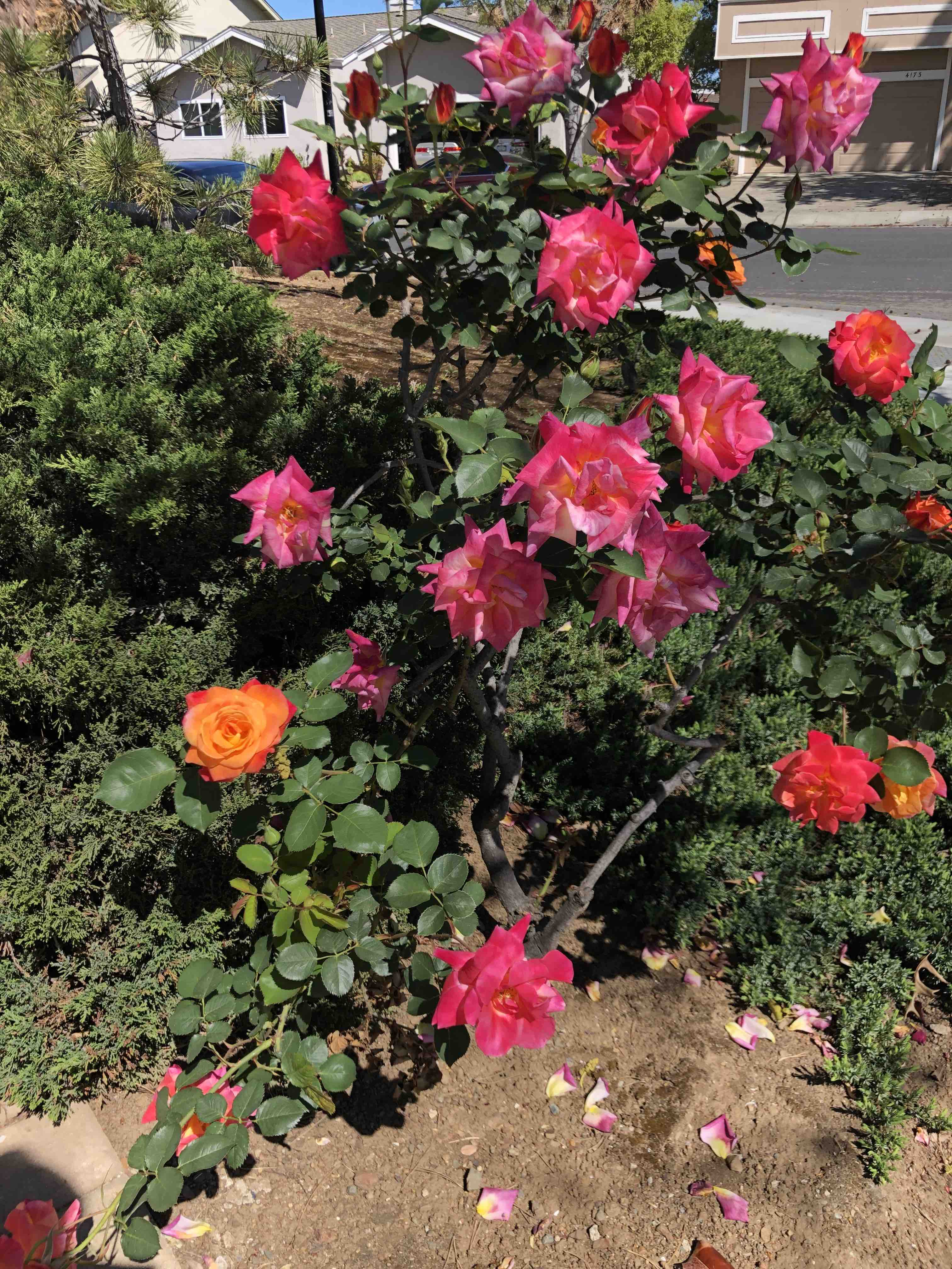 Rose bush with mostly dark pink flowers, but oddly one or two orange ones.