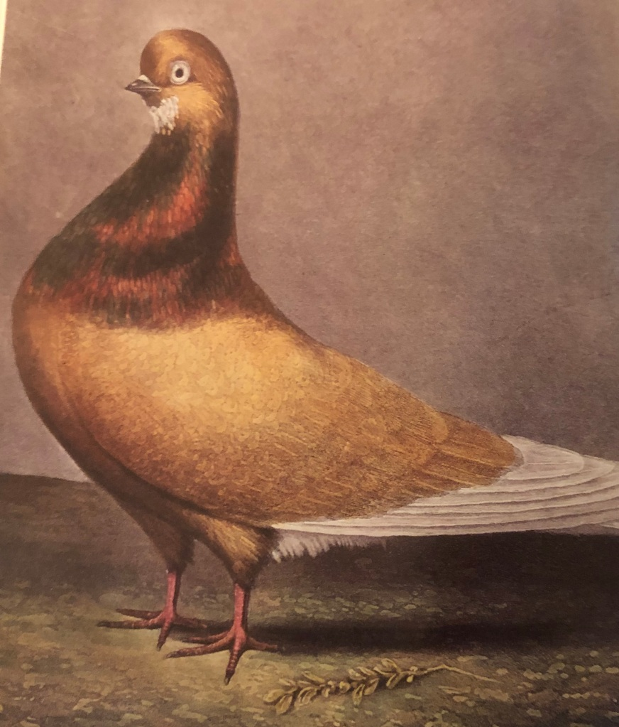 Sepia toned image of a brown and white pigeon. Basic pigeon shape. The white feathers on the chin are presumably what give the bearded pigeon its name.